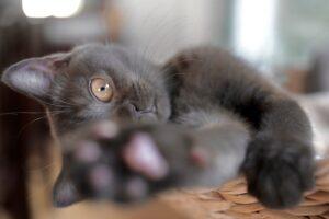 gatto grigio zampa
