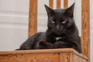 gatto nero posa
