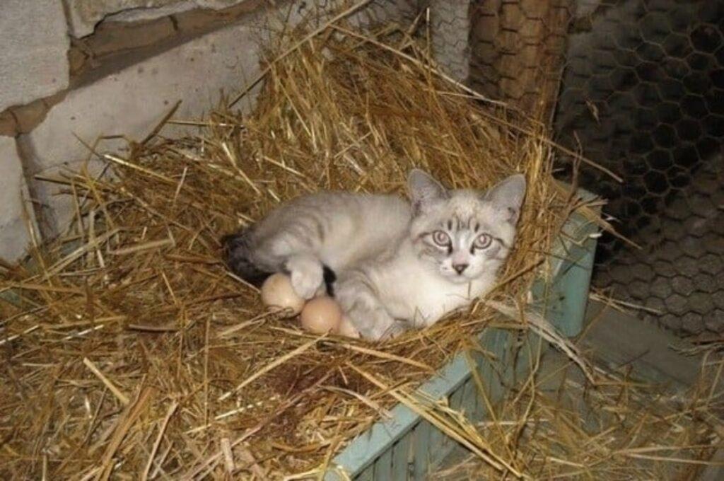 gatto uova covare