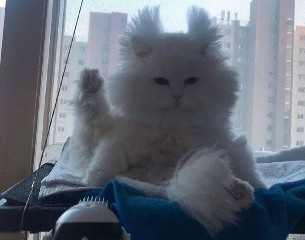 gatto bianco alza zampetta