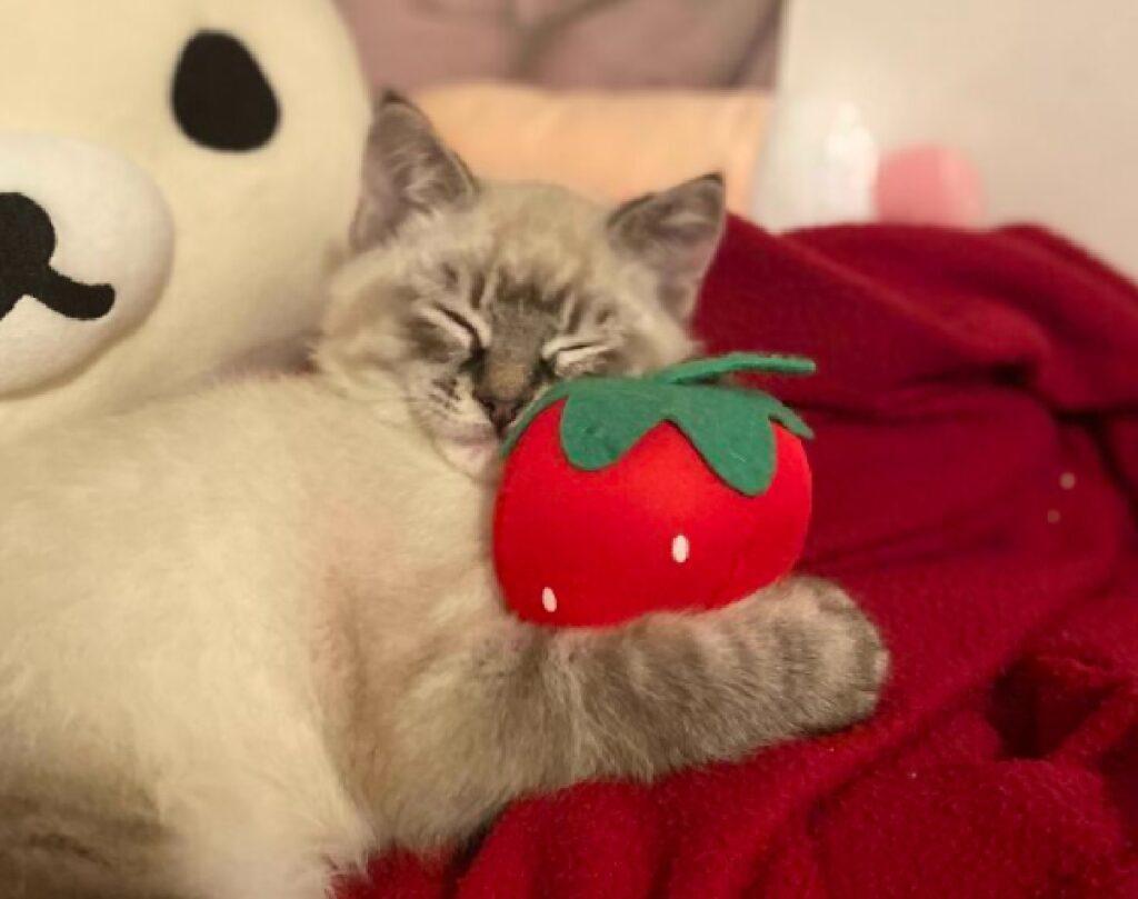 gatto con pomodoro finto