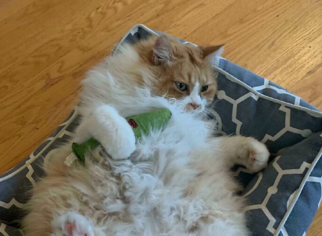gatto rilassato con cetriolo