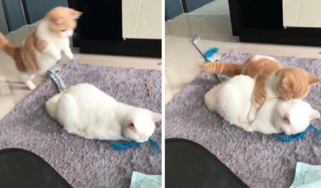 gatto salta su fratello che dorme