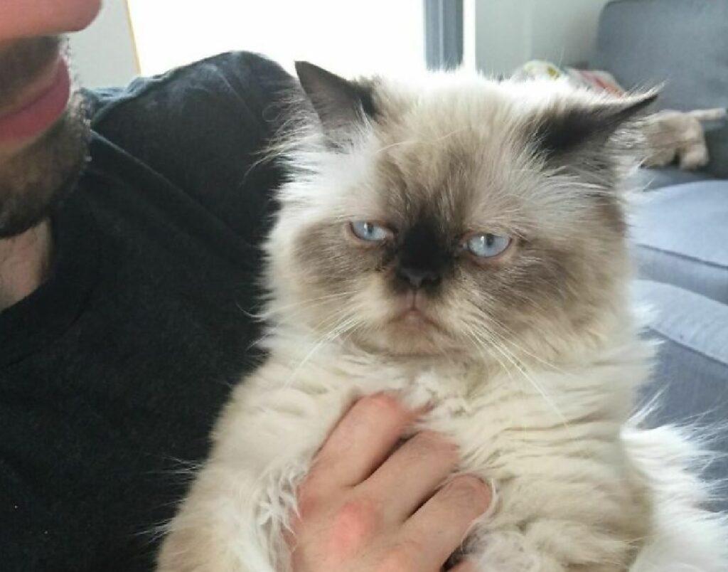 gatto persiano occhi azzurri