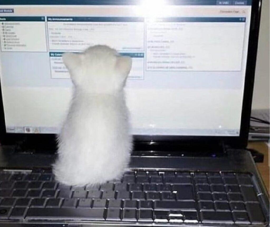 gatto bianco piccolo genio