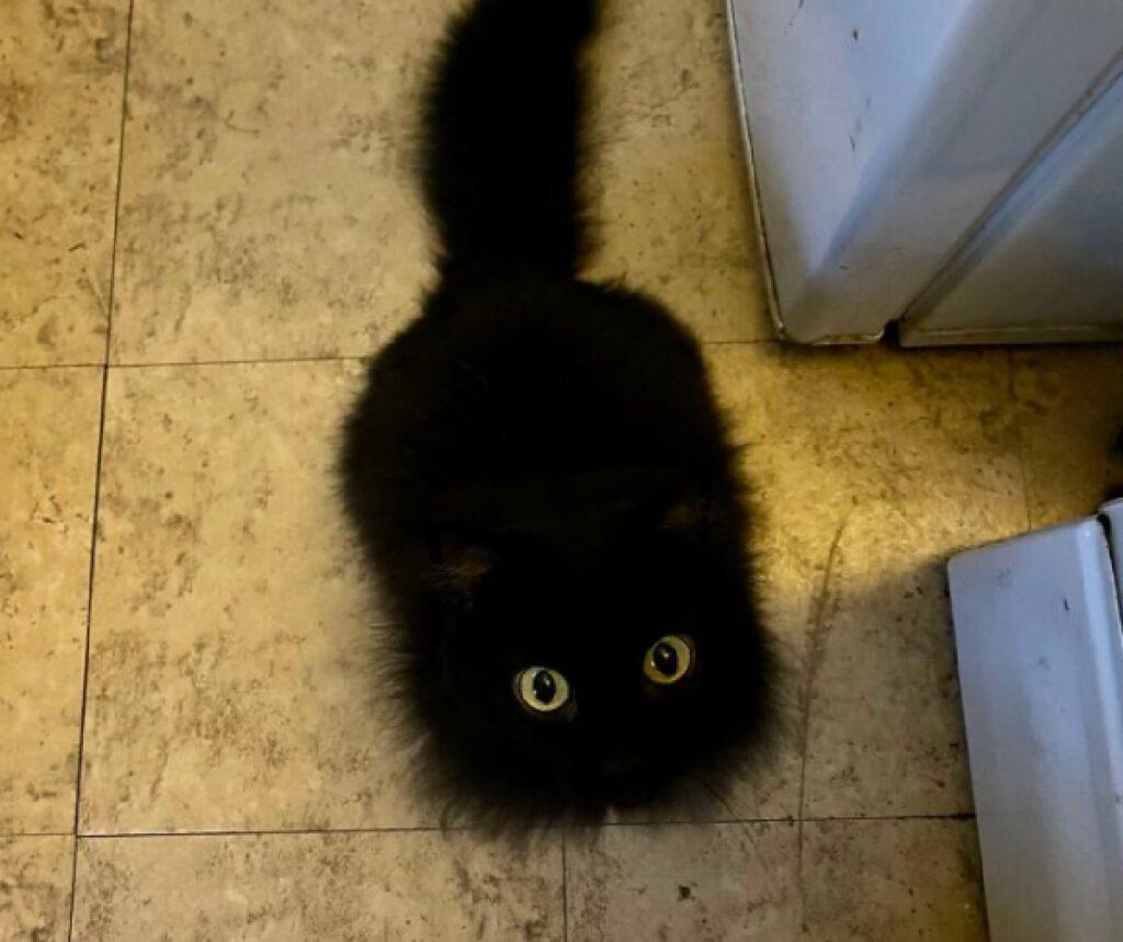 gatto pelo lungo nero