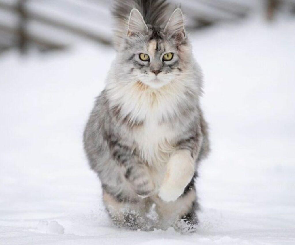 gatto corre sulla neve