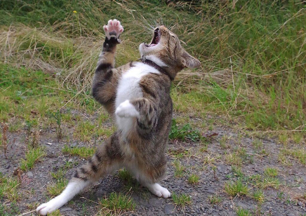 gatto soriano alza zampe