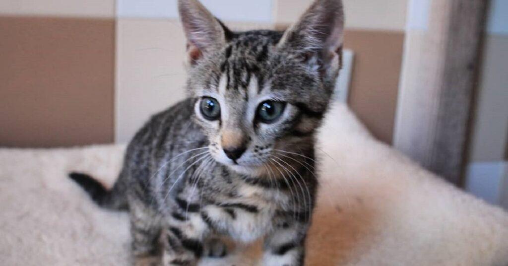 gattina di tre mesi cerca casa