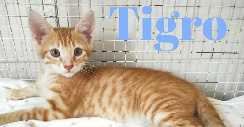 tigro gattino roscio