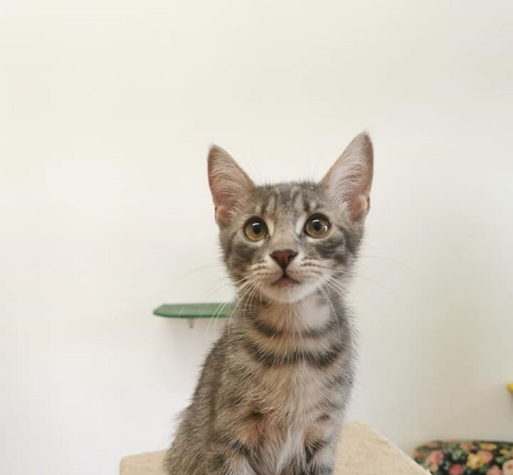 dolcissima gattina cerca casa