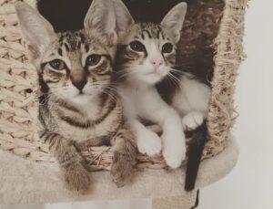 coppia di gattini