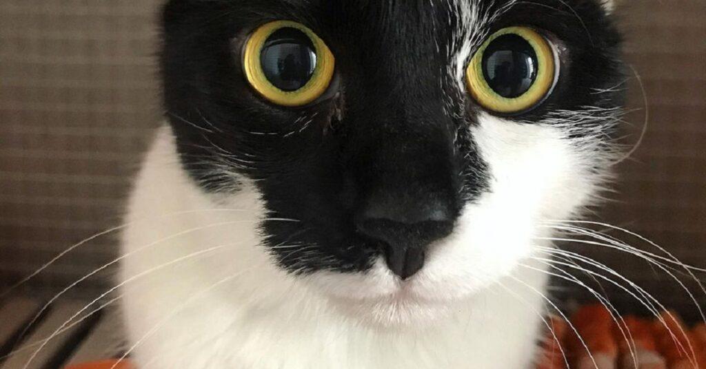 gattina che fissa la volontaria