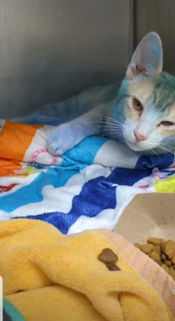 gatto colorato di blu