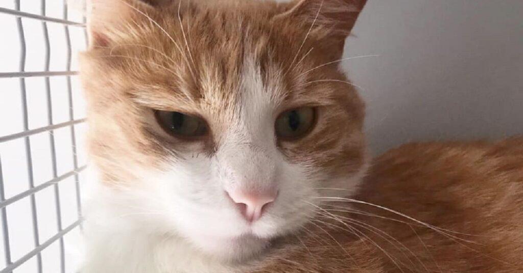 gatto dal naso rosa e il pelo rosso e bianco