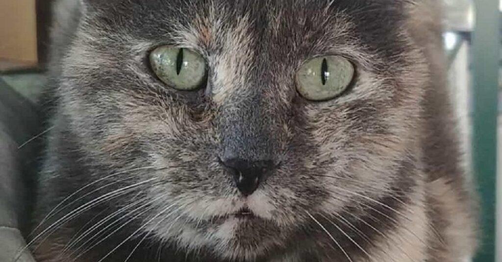 gattina dagli occhi azzurri