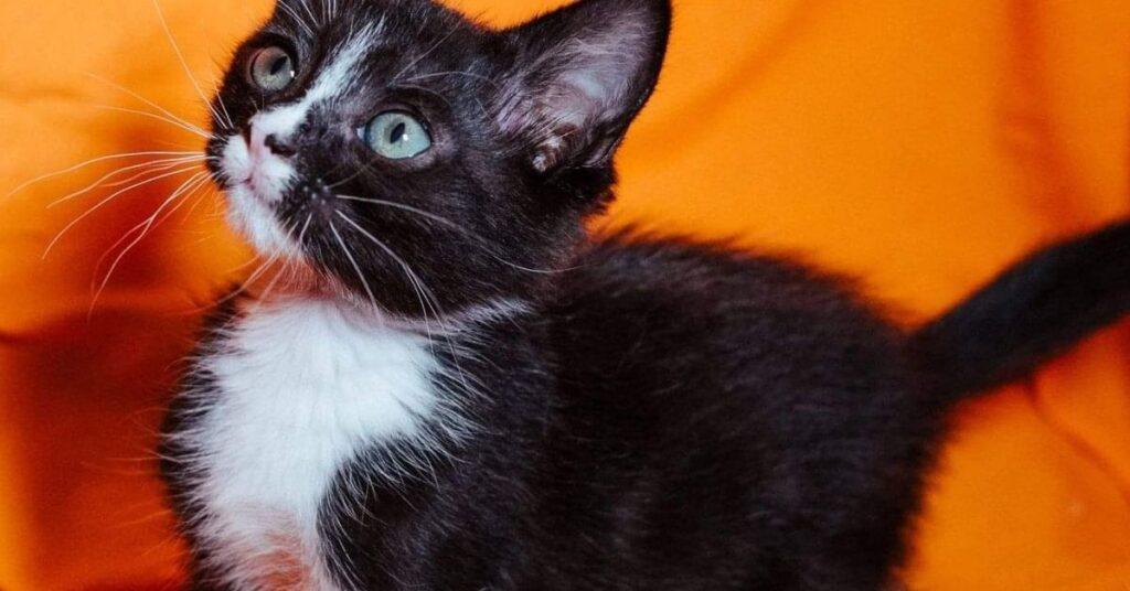 gattino nero sul divano
