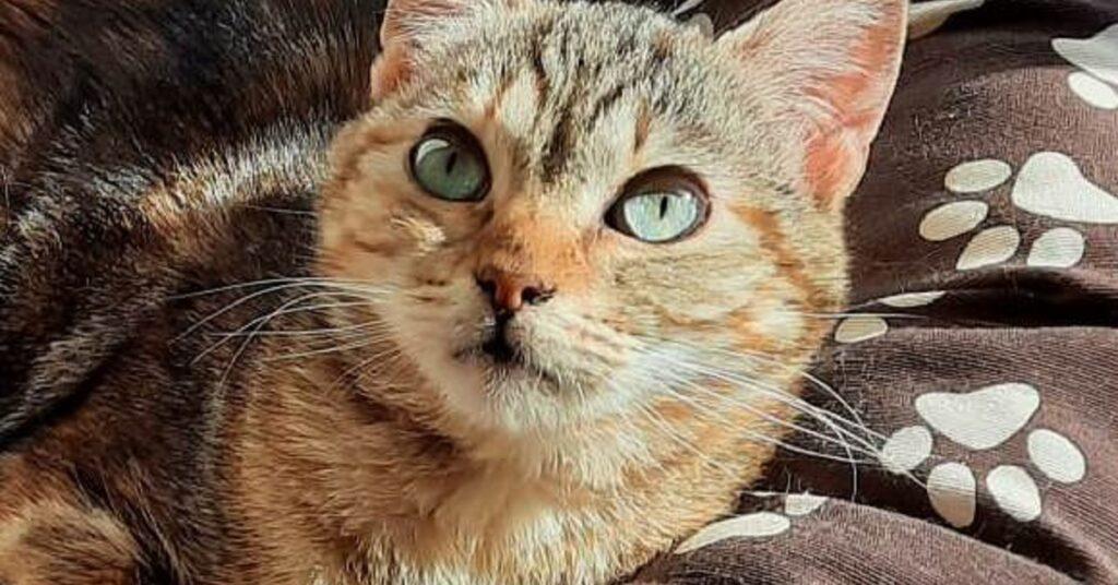gattina dagli occhi verdi