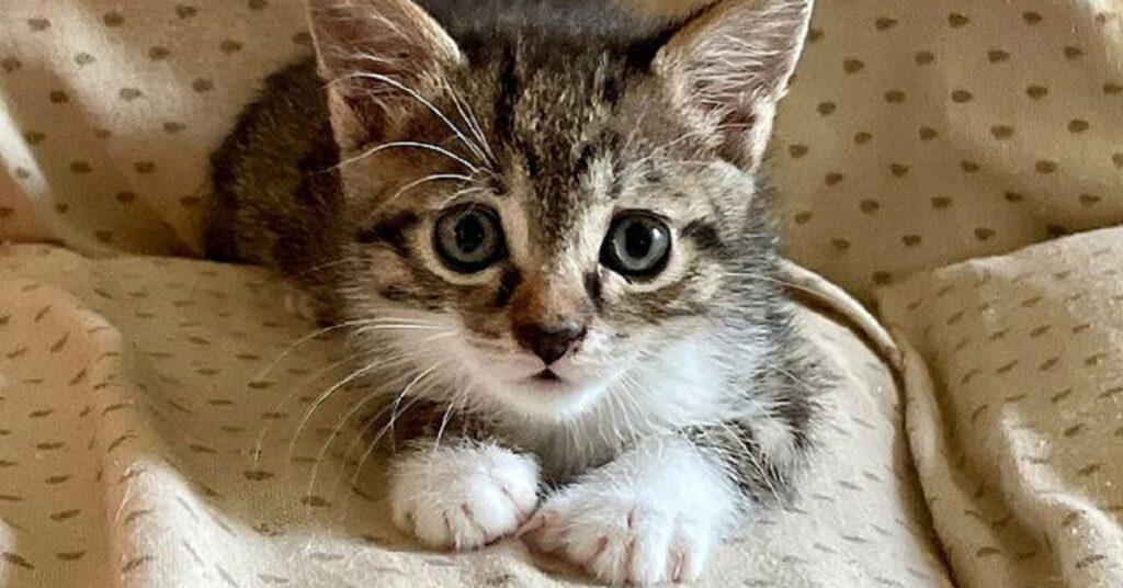 gattino dal muso marrone