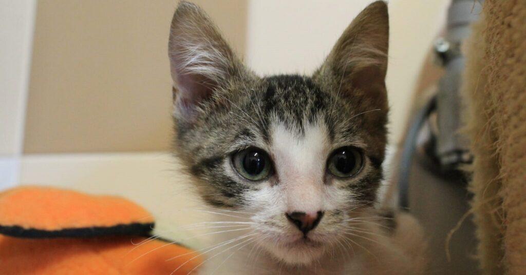 gattino dal naso marrone