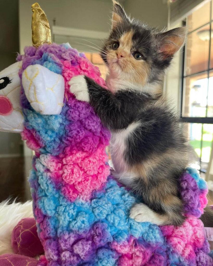 gattino tricolore su giocattolo