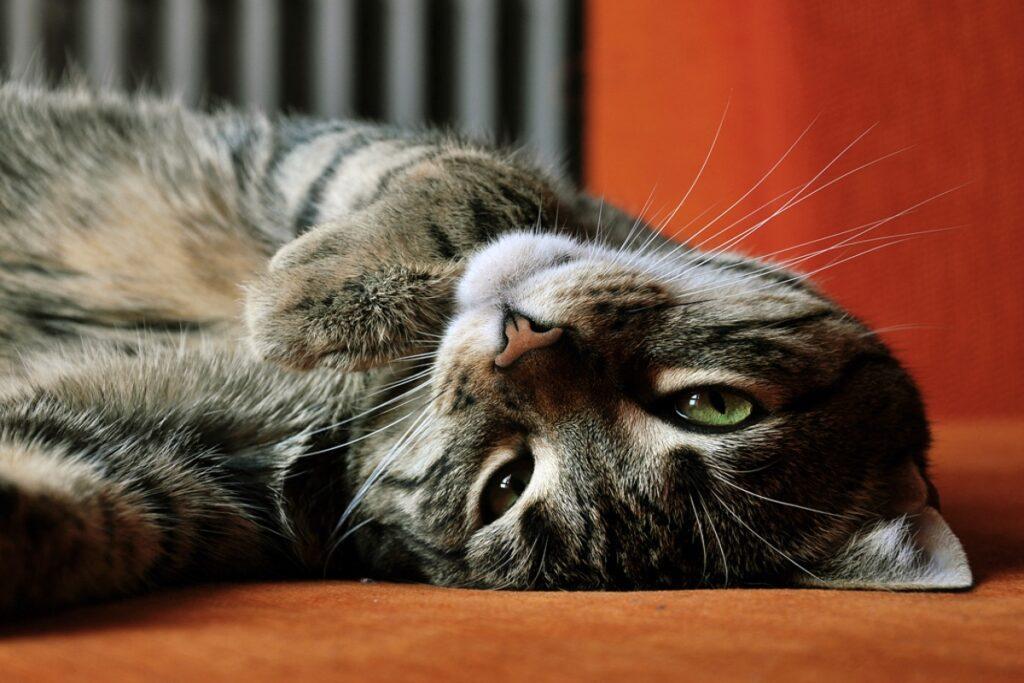 gatto supino