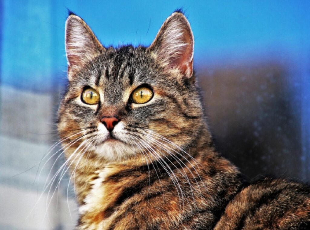 gatto soriano pelo striato