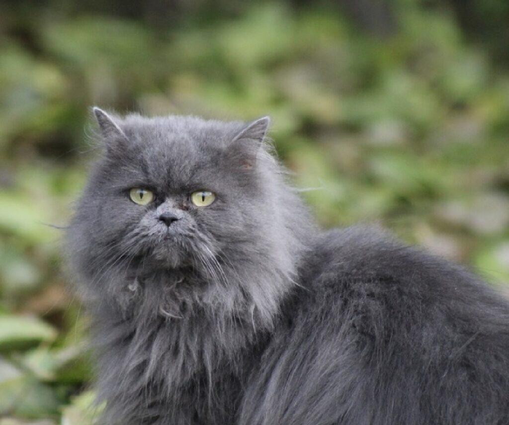 gatto persiano pelo lungo