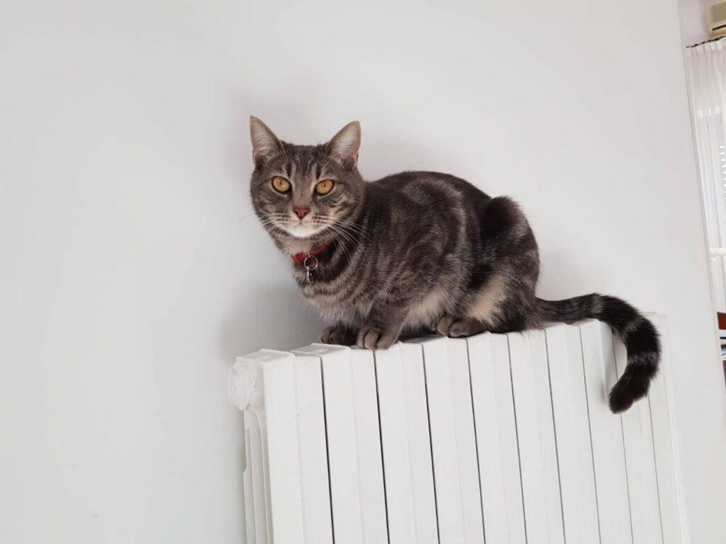 Gattino europeo Caleb