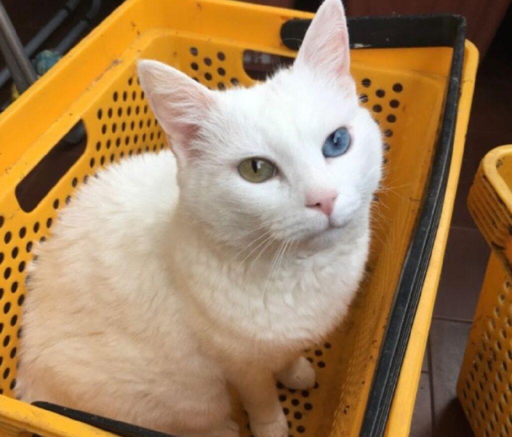 gatto bianco eterocromia cestino giallo