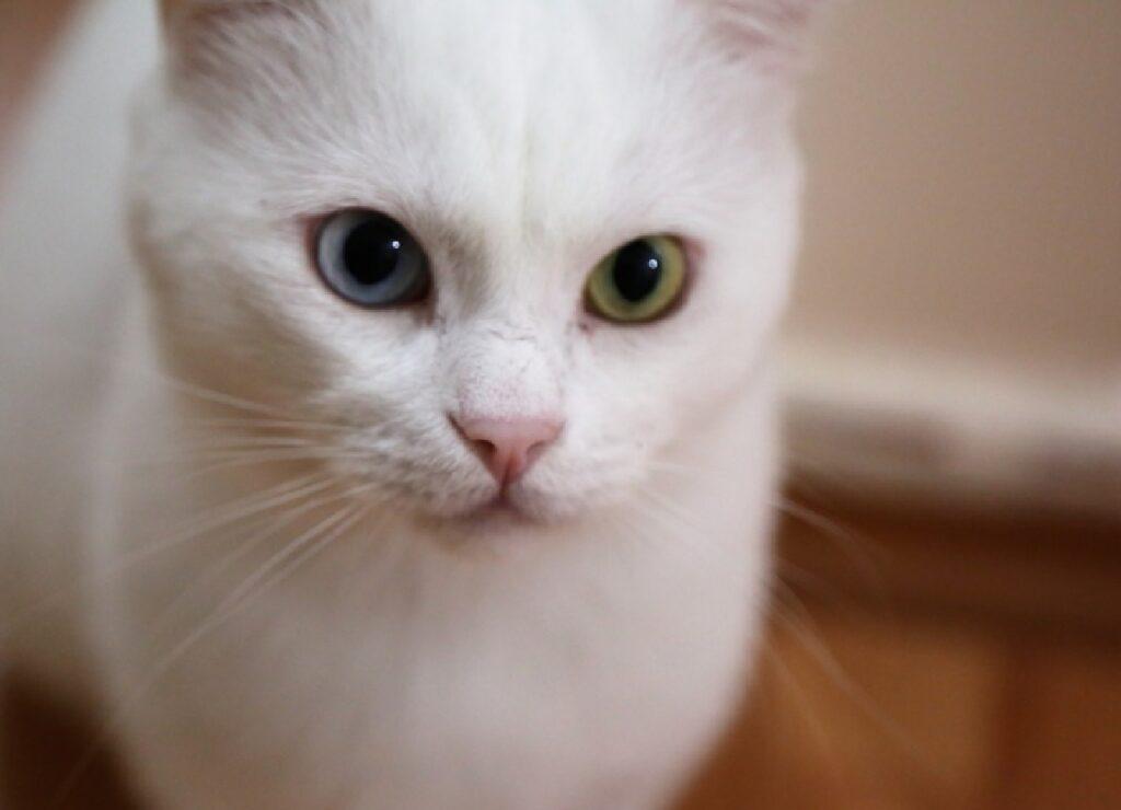 gatto bianco nasino rosa
