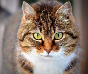 gattino europeo
