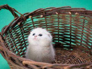 gattino bianco nella cesta di vimini