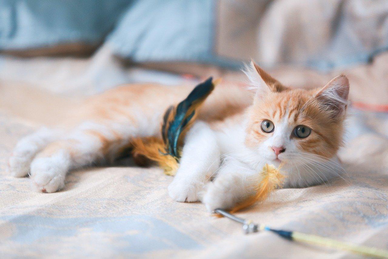 gatto cucciolo gioca