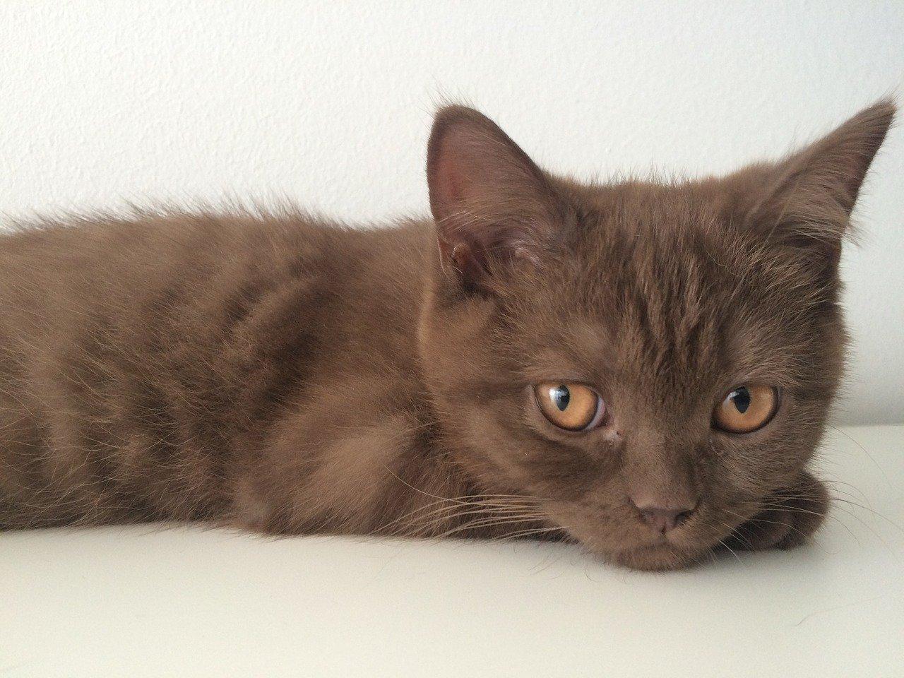 gattino color marroncino