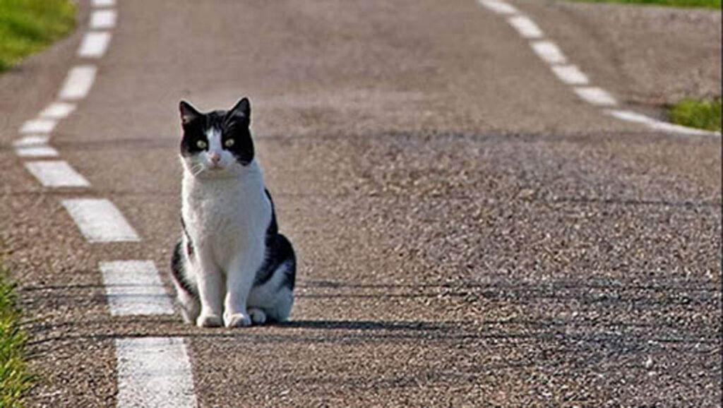 gatto bianco e nero su asfalto