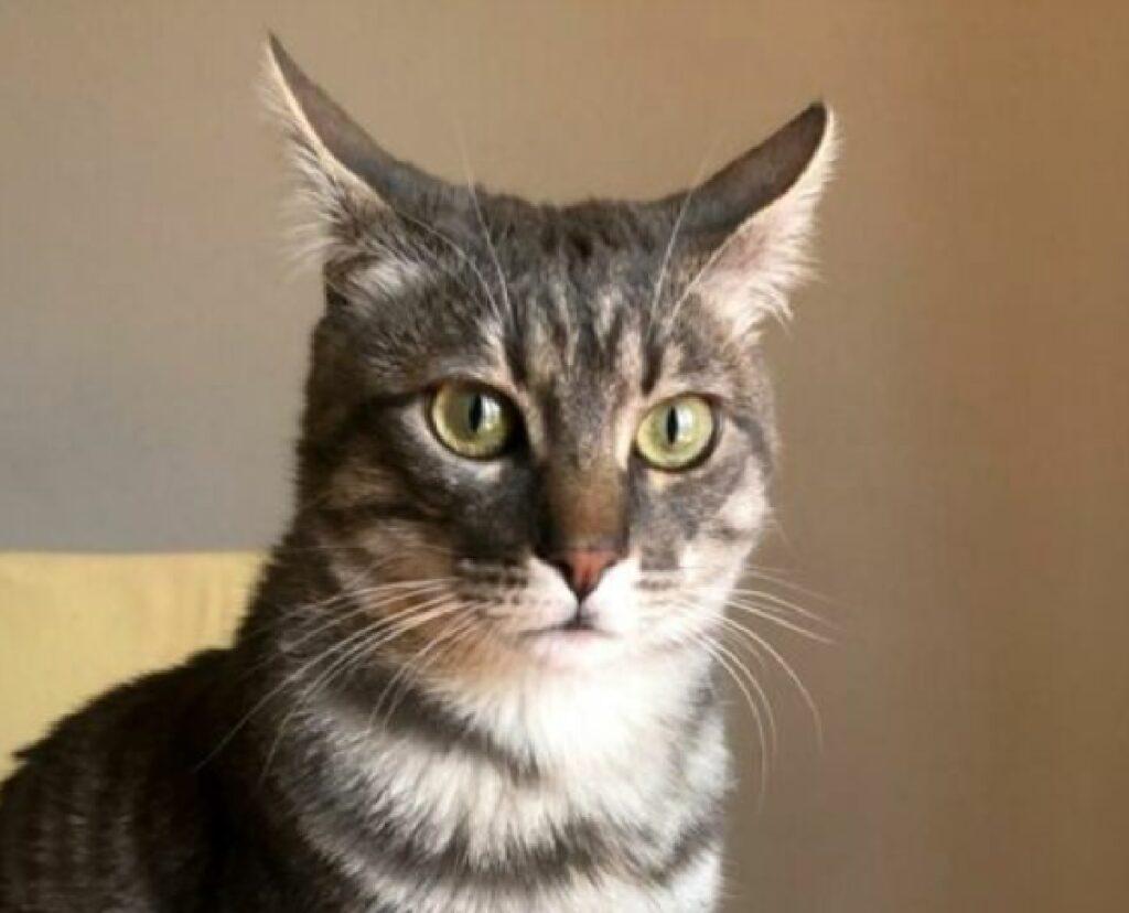 gatto soriano occhi grandi