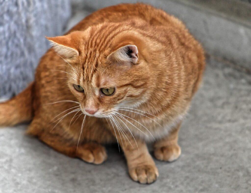 gatto rosso su asfalto