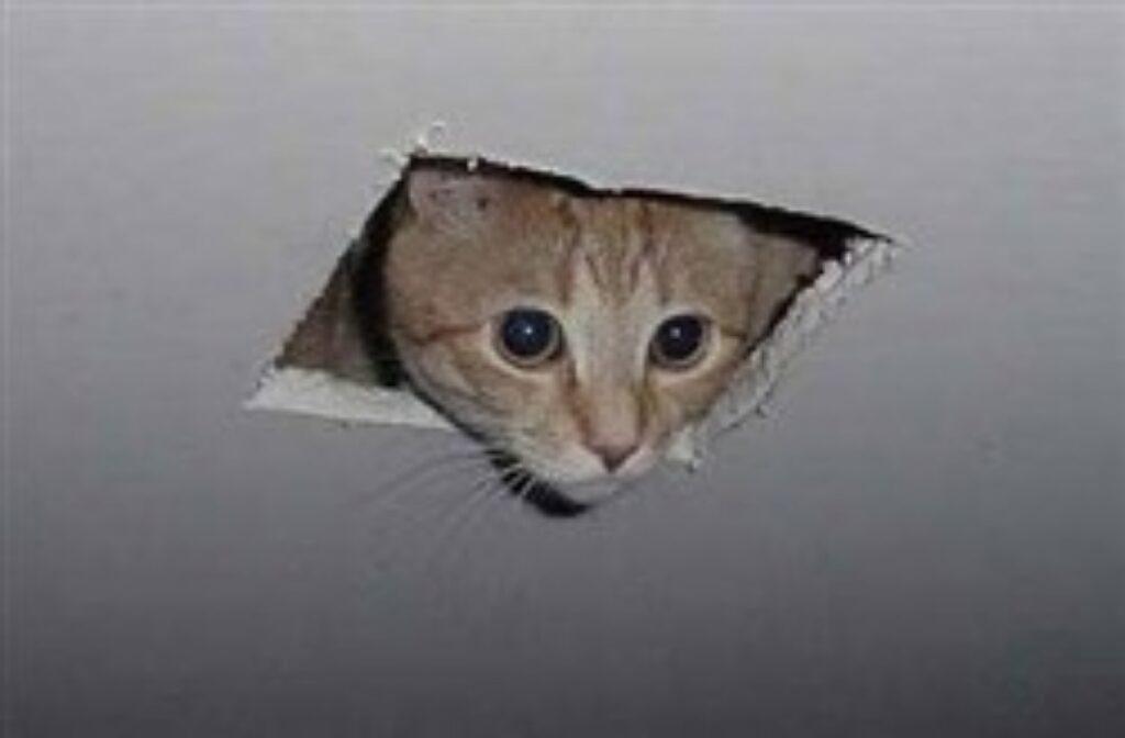 gatto nel controsoffitto