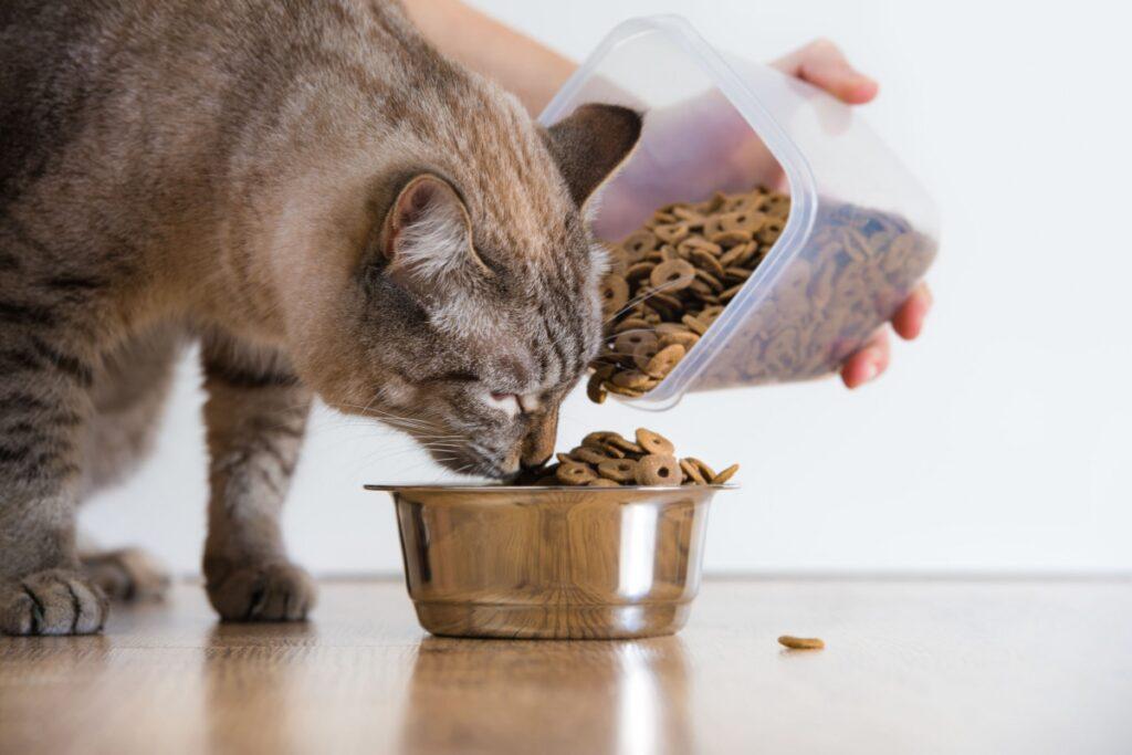 gatto mangia in maniera impaziente