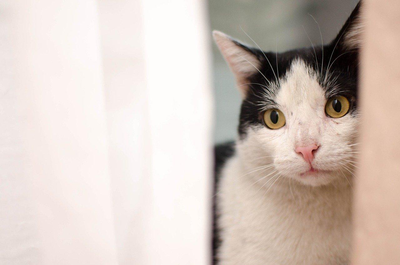gatto guarda nascosto