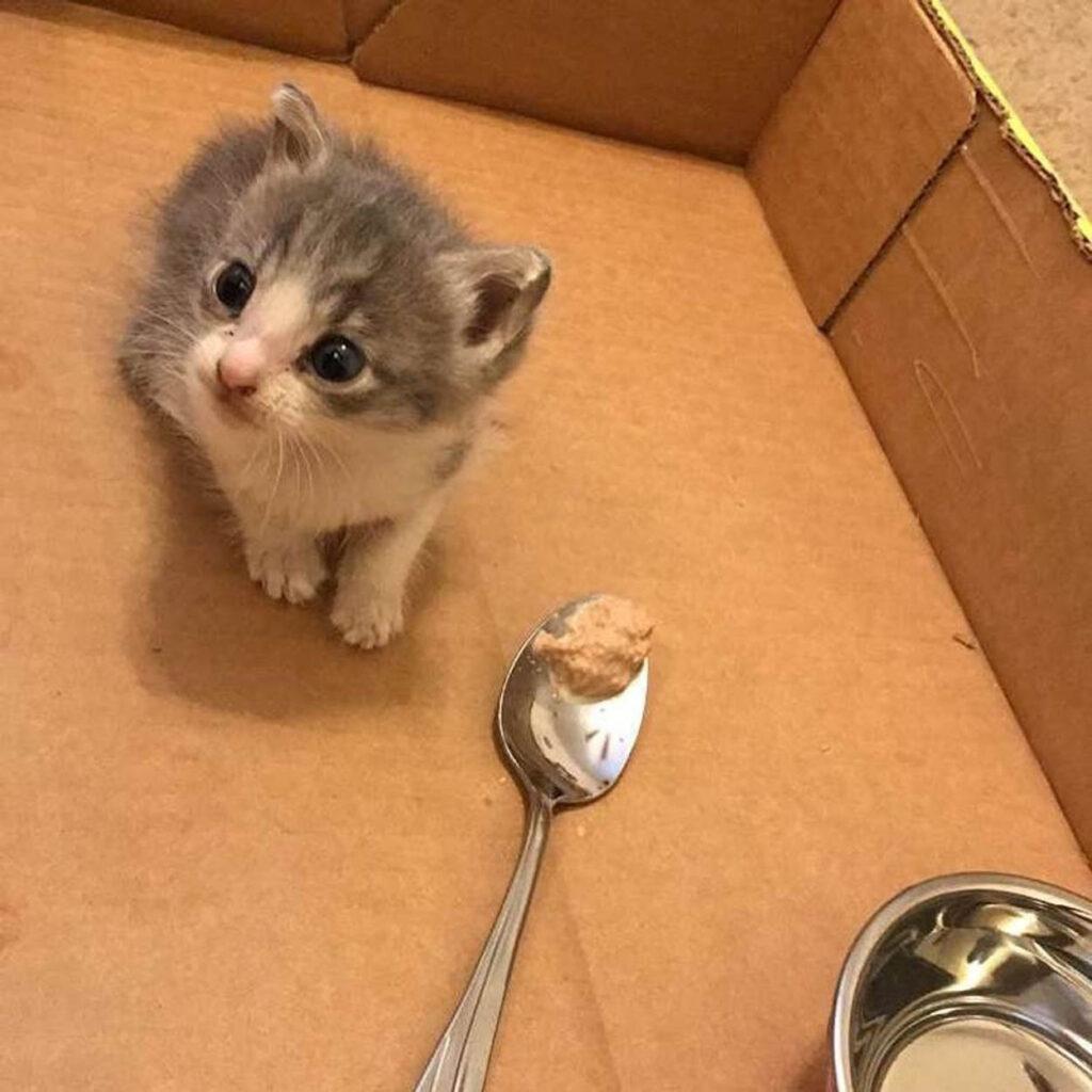 gattina grigia dentro scatola