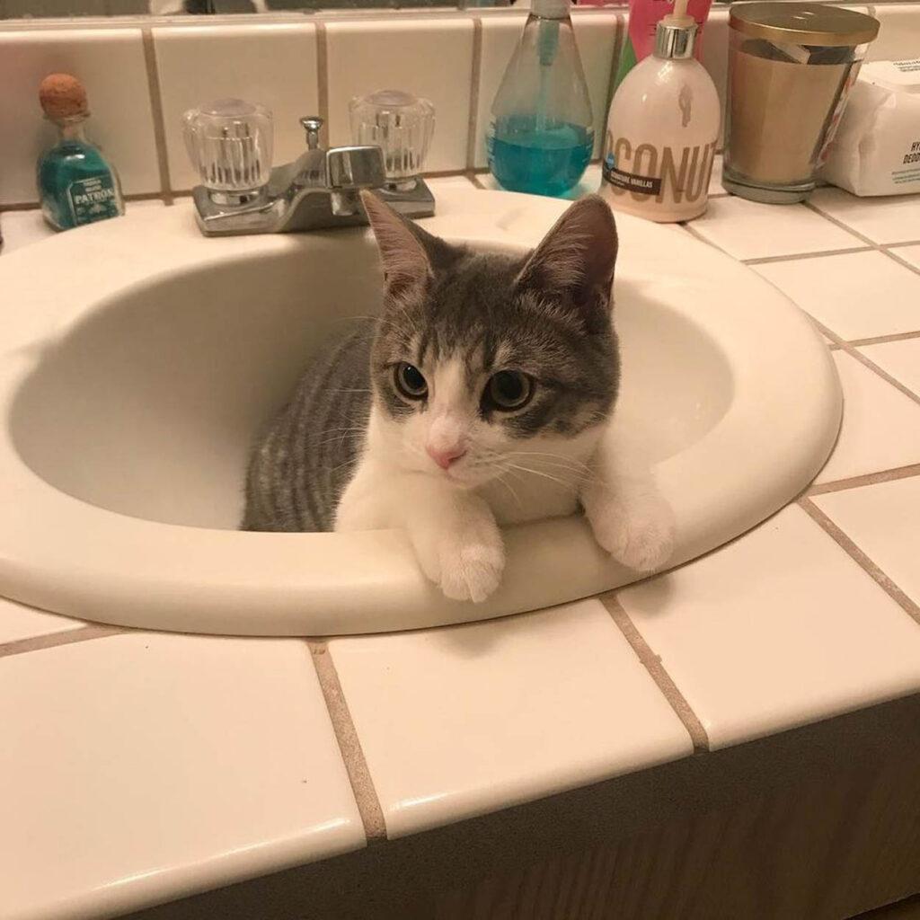 gatto dentro lavandino