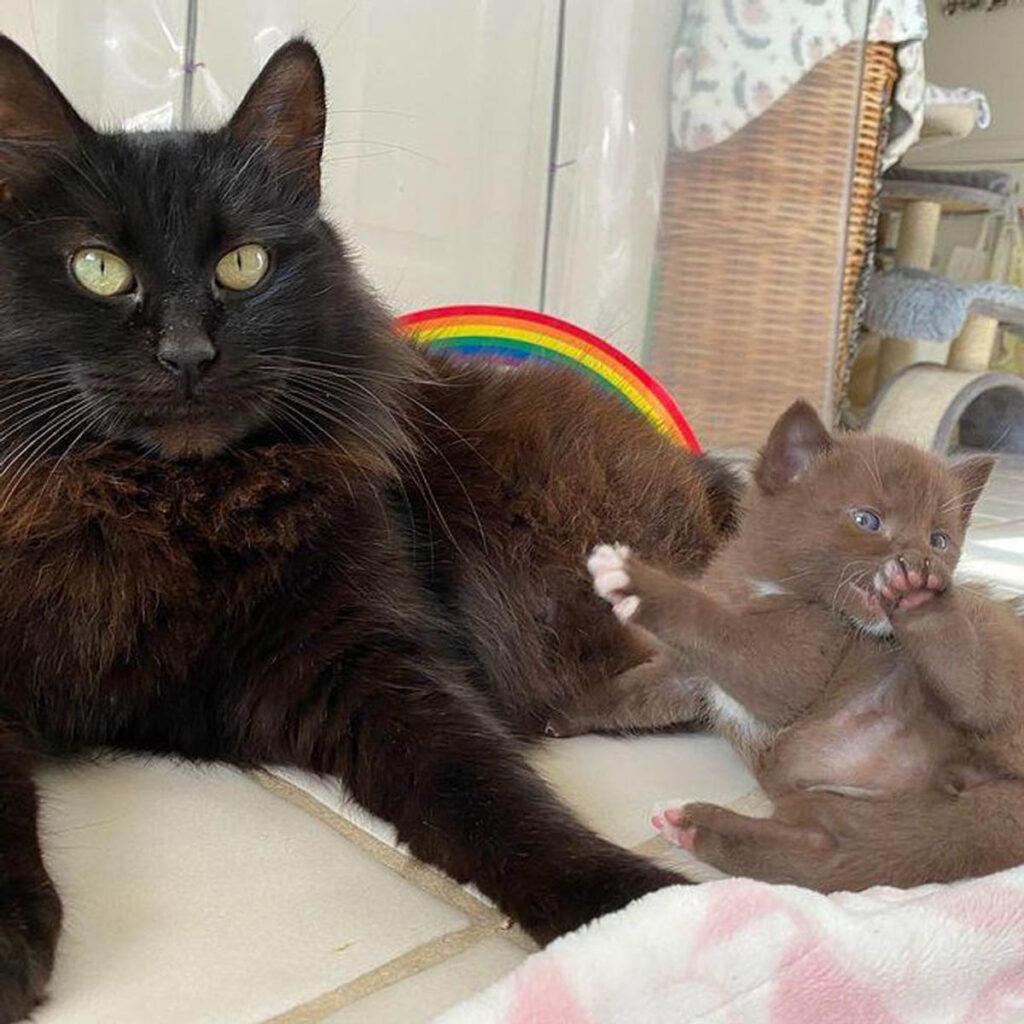 gattino marrone