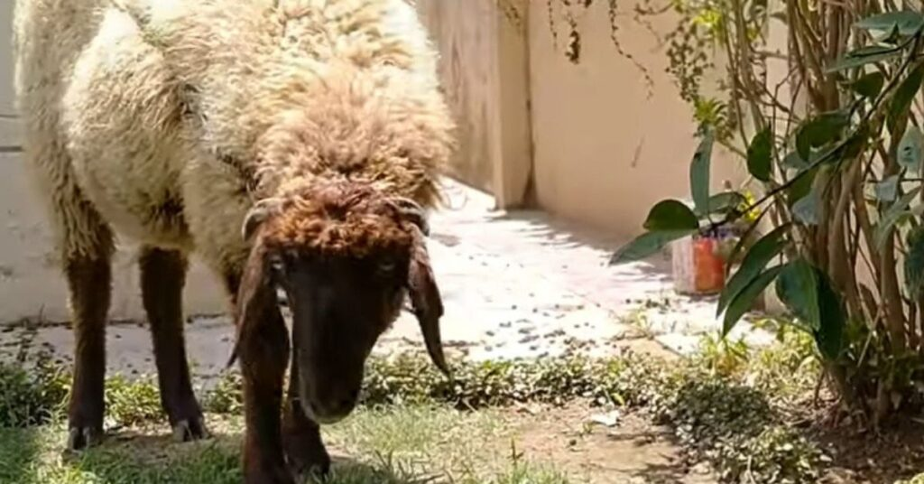 pecorella in giardino