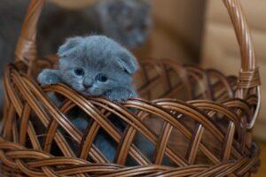 gattino grigio in un cesto