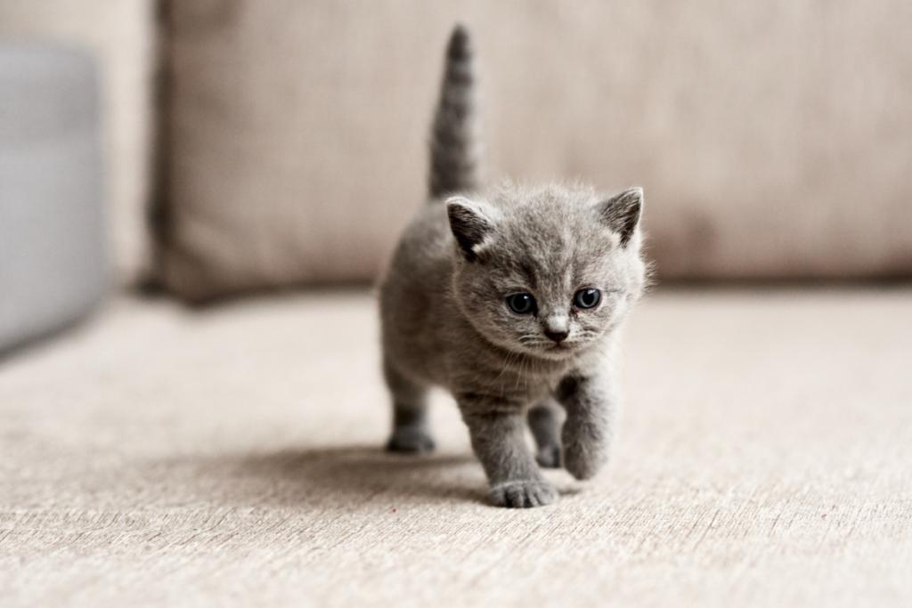 gattino grigio cammina