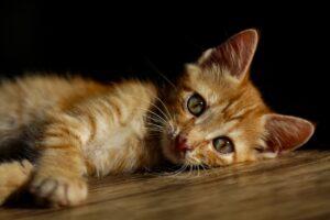 gatto rosso tigrato disteso