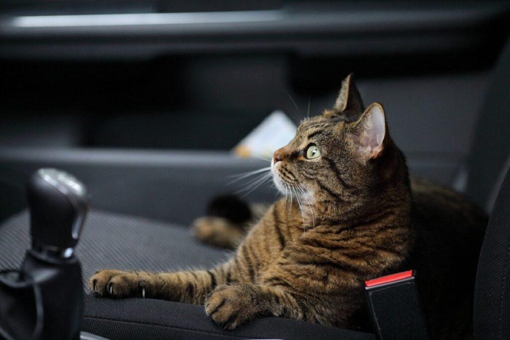gatto tigrato in macchina
