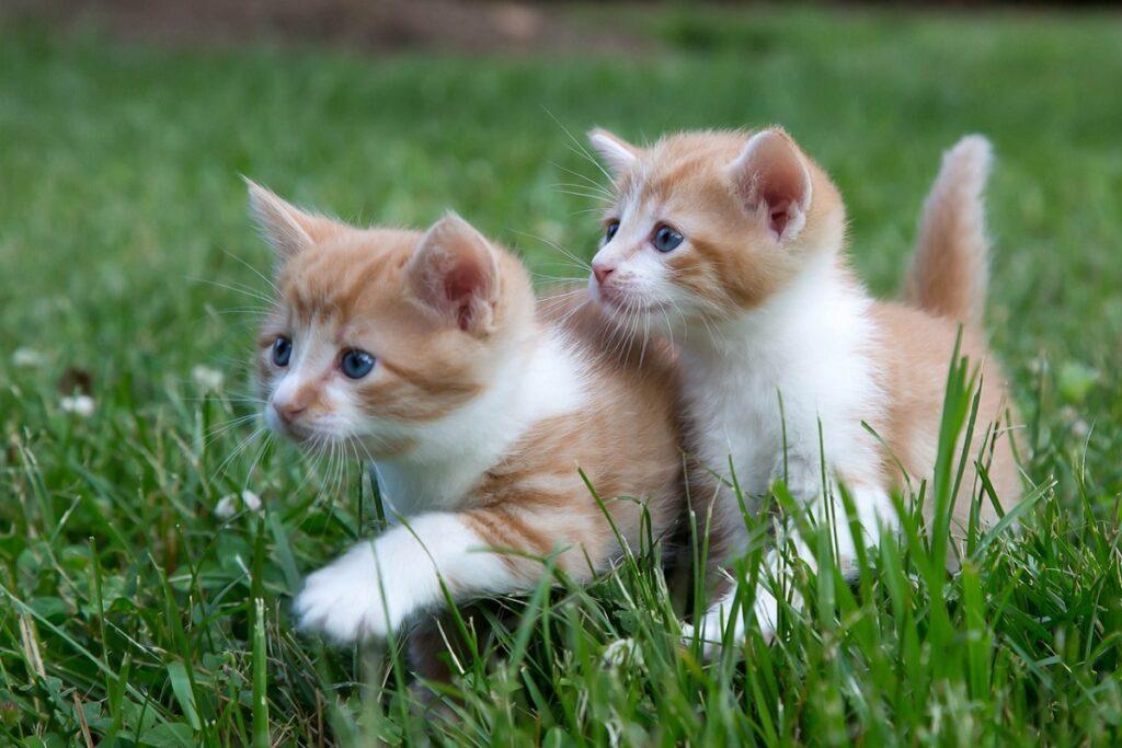 due gattini bianchi e arancioni